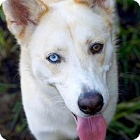 Adopt A Pet :: Foxy II - Jupiter, FL