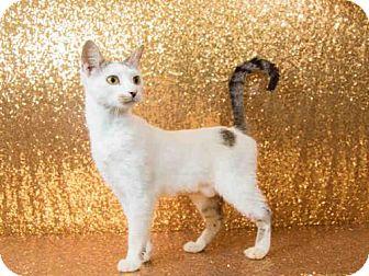 Domestic Shorthair Cat for adoption in Orlando, Florida - *MARSHMALLOW