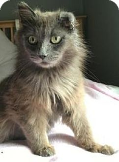 Domestic Longhair Cat for adoption in Rochester, Michigan - Brianna
