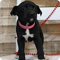 Adopt A Pet :: Daria - Waldorf, MD