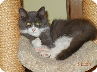 Domestic Longhair Kitten for adoption in Southington, Connecticut - Smokey