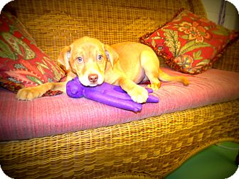 Labrador Retriever Puppy for adoption in Gadsden, Alabama - caden