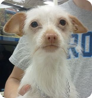 Poodle (Miniature)/Chihuahua Mix Dog for adoption in Orlando, Florida - Mota