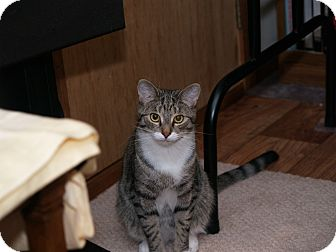 Domestic Shorthair Cat for adoption in Middletown, Connecticut - Timothy