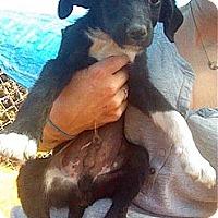 Adopt A Pet :: Lance - Austin, AR