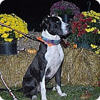 Adopt A Pet :: Mr. Mets - Roaring Spring, PA