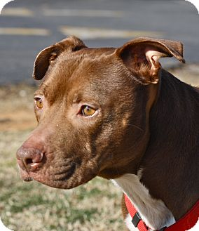 American Staffordshire Terrier/Terrier (Unknown Type, Medium) Mix Dog for adoption in Mebane, North Carolina - Alaric