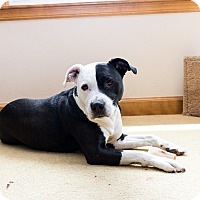 Adopt A Pet :: Buddy - Madison, WI