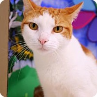 Adopt A Pet :: Buttercup - Bradenton, FL