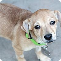 Adopt A Pet :: Bean the baby tripod -Meet Him - Norwalk, CT