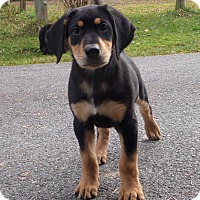 Adopt A Pet :: Puppy - Rigaud, QC
