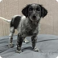 Adopt A Pet :: Kaylee-pending adoption - Manchester, CT