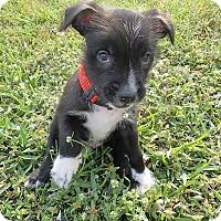 Adopt A Pet :: Buzz - Ft. Myers, FL