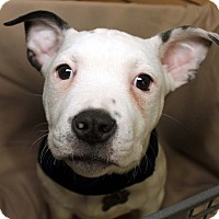 Adopt A Pet :: Henry-Adopted! - Detroit, MI