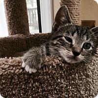 Adopt A Pet :: Duff - Richmond, VA