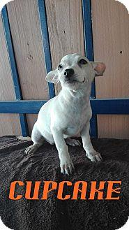 Chihuahua Puppy for adoption in BONITA, California - Cupcake