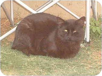 Domestic Mediumhair Cat for adoption in Anton, Texas - Psycho