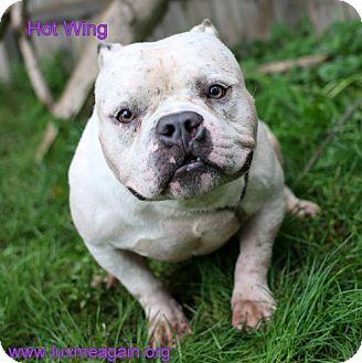 English Bulldog Mix Dog for adoption in Bloomington, Minnesota - Hot Wing