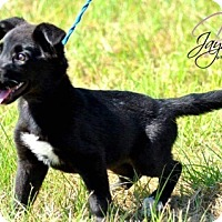 Terrier (Unknown Type, Medium)/Chihuahua Mix Puppy for adoption in Providence, Rhode Island - Betsy Camo in New England