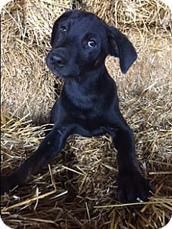 Labrador Retriever Mix Puppy for adoption in Bedminster, New Jersey - Dodson