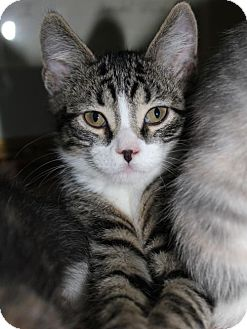 Domestic Shorthair Kitten for adoption in South Saint Paul, Minnesota - Cole