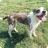 Jack Russell Terrier/Boston Terrier Mix Dog for adoption in Russellville, Kentucky - Izzy