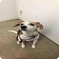 Adopt A Pet :: CLOVER - Lawrence, KS