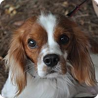 Cavalier King Charles Spaniel Dog for adoption in Atlanta, Georgia - Milton