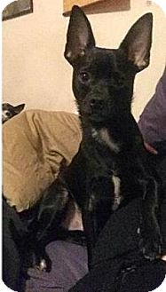 Chihuahua Dog for adoption in Mission, Kansas - Abner