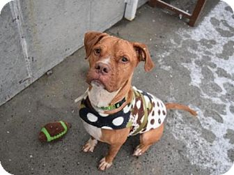 Boxer Mix Dog for adoption in Brooklyn, New York - RAZOR