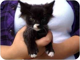 Domestic Shorthair Kitten for adoption in Tracy, California - Romeo-PENDING ADOPTION
