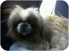 Pekingese Dog for adoption in Seymour, Connecticut - Inkspot