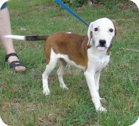 Redbone Coonhound/Beagle Mix Puppy for adoption in Washington, D.C. - Belle