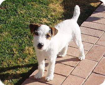 Jack Russell Terrier Dog for adoption in Scottsdale, Arizona - VALOR
