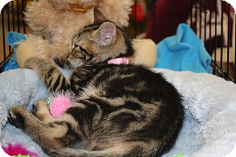 Domestic Shorthair Kitten for adoption in Vero Beach, Florida - Hazel