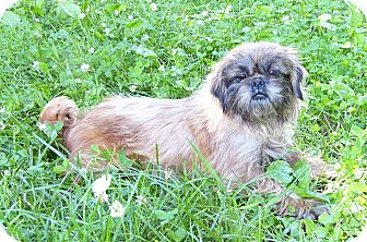 Pekingese/Brussels Griffon Mix Dog for adoption in Mocksville, North Carolina - Haagen-Dazs
