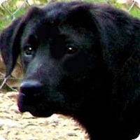 Adopt A Pet :: RAIN(ADORABLE GOLDEN/LAB PUPPY - Wakefield, RI
