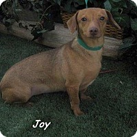 Adopt A Pet :: Joy - Chandler, AZ