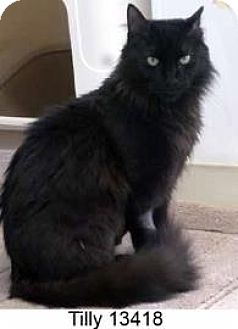 Domestic Longhair Cat for adoption in Middleburg, Florida - Tilly
