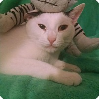 Domestic Shorthair Cat for adoption in Little Neck, New York - BUBBAH