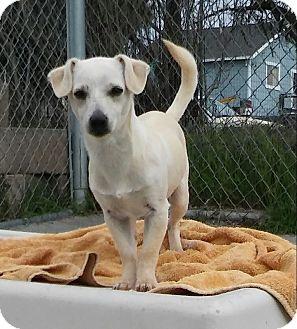 Dachshund Mix Dog for adoption in Santa Rosa, California - Dash