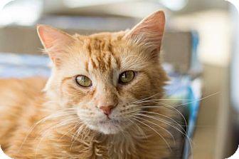 Domestic Mediumhair Cat for adoption in Philadelphia, Pennsylvania - Etty