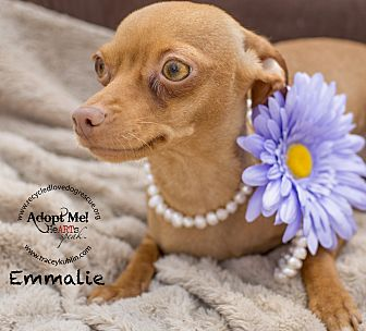 Miniature Pinscher/Chihuahua Mix Dog for adoption in Inland Empire, California - EMMALIE