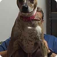 Adopt A Pet :: Faith - Sherman, CT
