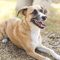 German Shepherd Dog/Cattle Dog Mix Dog for adoption in Inland Empire, California - MAX