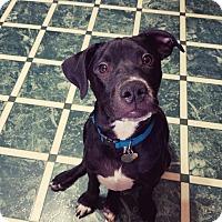 Adopt A Pet :: Spanky - FOSTER, RI