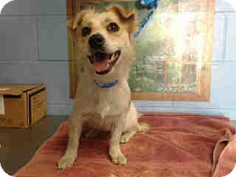 Terrier (Unknown Type, Small) Mix Dog for adoption in San Bernardino, California - URGENT on 10/1 SAN BERNARDINO