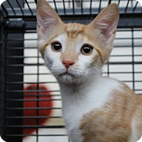 Domestic Shorthair Kitten for adoption in Sarasota, Florida - Ponyta