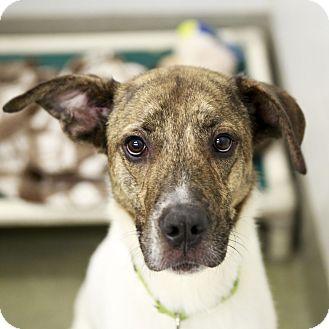 Plott Hound/Hound (Unknown Type) Mix Dog for adoption in Kettering, Ohio - Thadeus