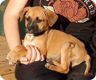 German Shepherd Dog/English Bulldog Mix Puppy for adoption in Sussex, New Jersey - Whiskey (6 lb) Video!
